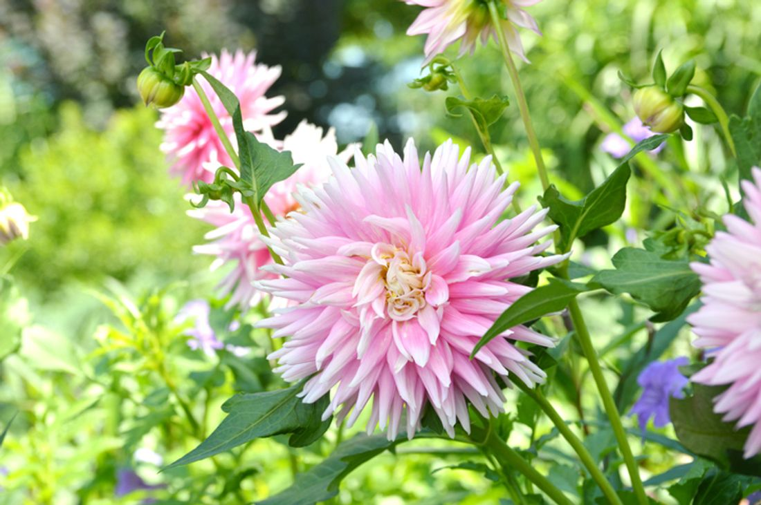 Gardening Tips 9 Best Autumn Flowers Hipages