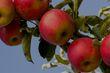Growing an apple tree