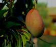Growing a mango tree