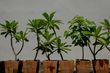 Frangipani in pots