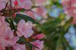 Dwarf Oleander