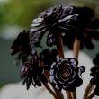 Black rose succulents
