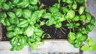 Speedy Basil Pesto, Broccoli and Walnut Penne with Roast Cherry Tomatoes