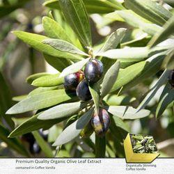OLIVE LEAF: Theanti-inflammatory propertyofolive leavesaidsweightloss, itsantioxidant properties helpprotectthebody
