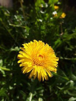 The magnificent dandelion