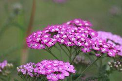Yarrow Pink