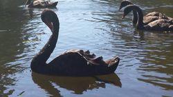 higher self swan beauty in shadow